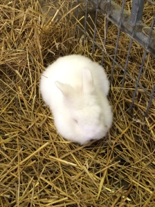 This rabbit was a fluffer.  The sign said he was a Lionhead rabbit.